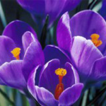 Resolving gaps in supply chain, purple tulips